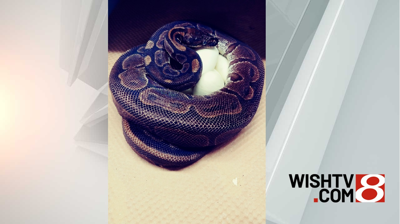 Ball python lays 7 eggs even though she hasn't been around a male in 15  years - WISH-TV | Indianapolis News | Indiana Weather | Indiana Traffic