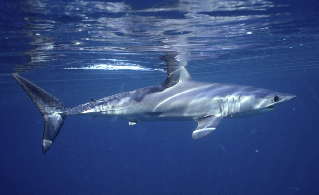Oceanic shark populations dropped 71% since 1970...